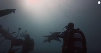 這條鯊魚游向潛水男子,下一個畫面讓我已經覺得想領養一條了!