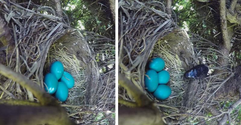 他們放了一台攝影機在鳥巢旁邊想看看大自然的殘酷...接著到18秒時我已經捂住嘴了!