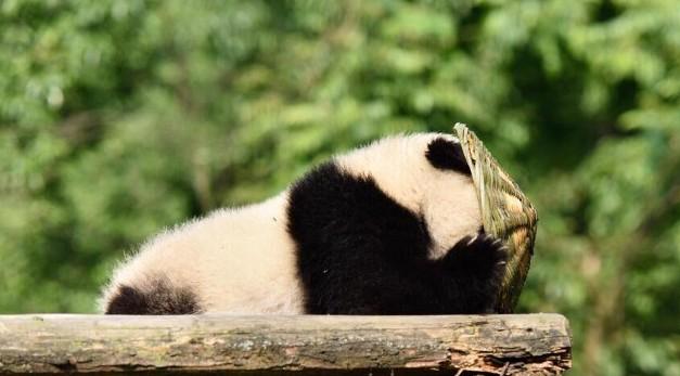 警告:可愛噴發!《功夫熊貓4》要出真熊貓版?!導演一看到「爬不過門」的演員就忍不住笑翻喊卡了!