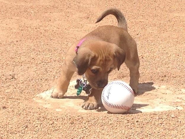 這隻7週大狗狗在球場被發現時不斷哭泣,結果她遇到了「球隊總管」後就得到了讓人萌翻的完美工作!