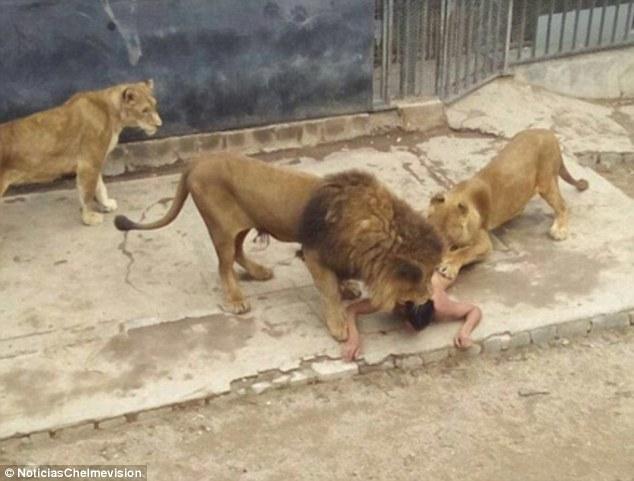 这名游客想自杀就「脱光衣服跳进狮笼里」,但之后的发展让网友都怒骂「他该死!」