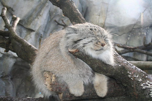 俄國農夫在倉庫撿到4隻毛茸茸小貓,沒想到養大後才發現看走眼的「超稀有爆萌真面目」!