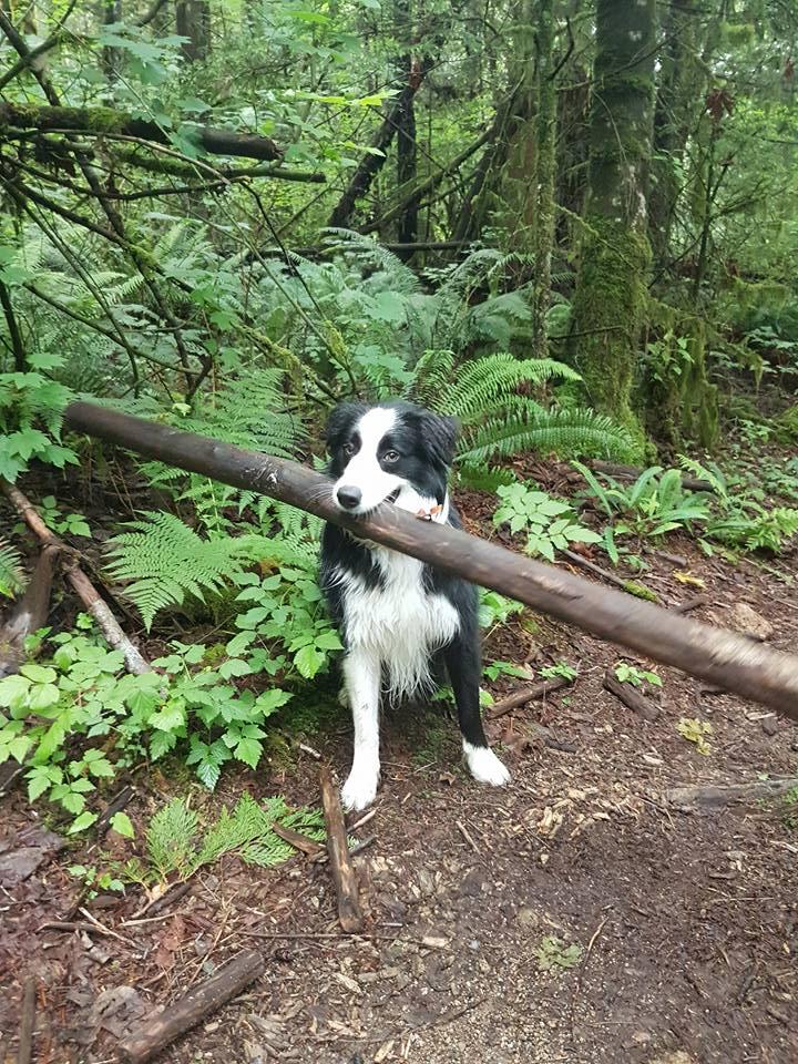 他在樹林裡跟狗狗玩丟棍子遊戲,結果當狗狗從草叢裡跑出來時主人一看到棍子就吃驚「這怎麼丟啊?!」
