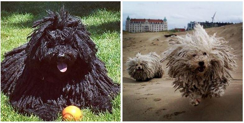 18種其實比柯基柴犬還可愛但你一定沒見過的「超可愛稀有汪星人品種」。