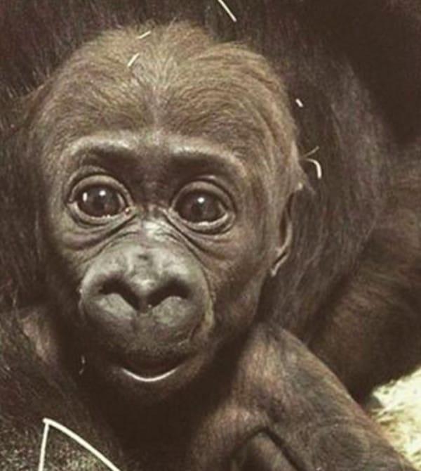 猩猩寶寶生平第一次遇見小朋友覺得太奇妙,於是下一秒就做出「超暖心舉動」把所有人都融化成水!