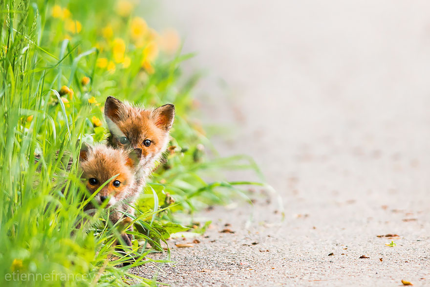 cute-baby-foxes-22-574436ab65414__880