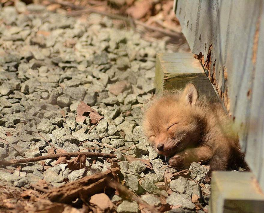 27張會讓你發現狐狸比狗狗還要可愛的「超萌小狐狸寶寶」照片。