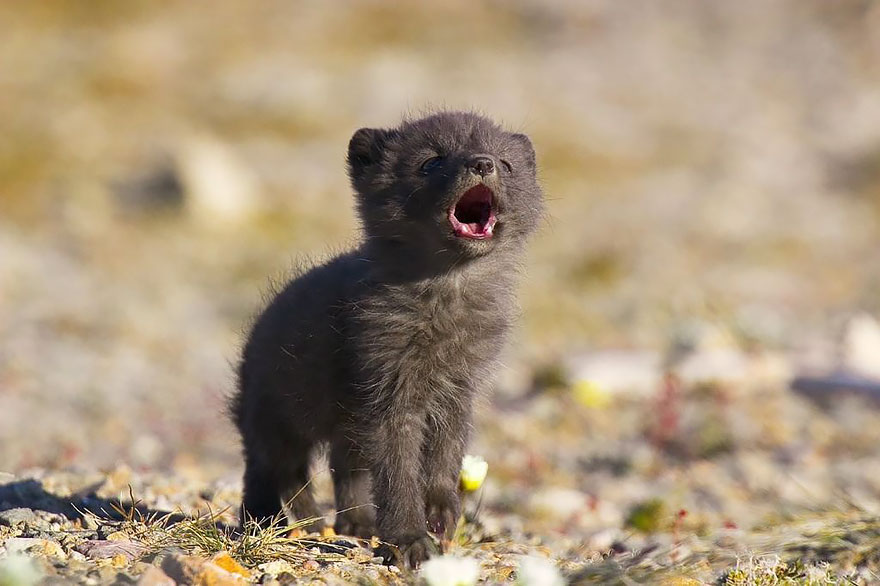 cute-baby-foxes-cubs-18-574436c05be56__880