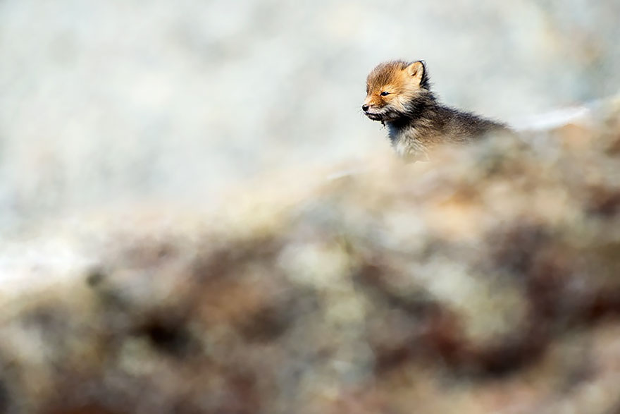 cute-baby-foxes-cubs-20-57444a8416308__880