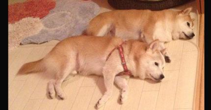 這兩隻狗狗快熱到暈時主人開了冷氣,結果他們馬上「但這又太冷了」的舉動讓主人又愛又氣!