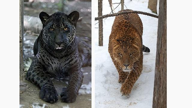 15個會讓你想要跟外國人生孩子的「完美混血動物」。