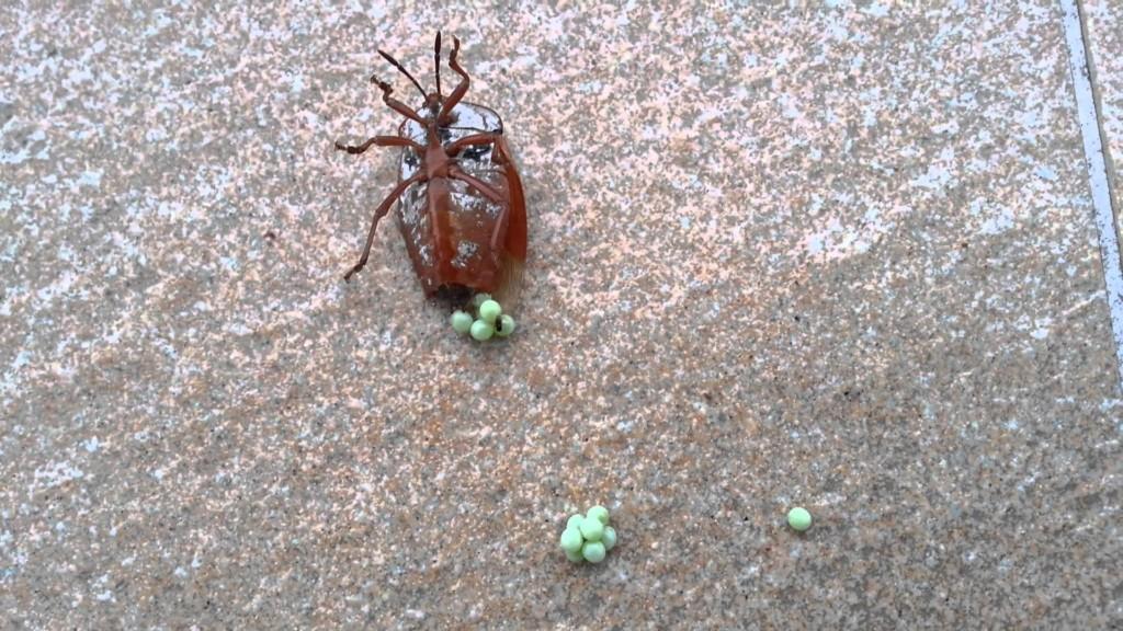 台灣開始出現「這種恐怖蟲蛋」的蹤跡,沒有看到就穿上衣服的話你就有嚴重危險了!