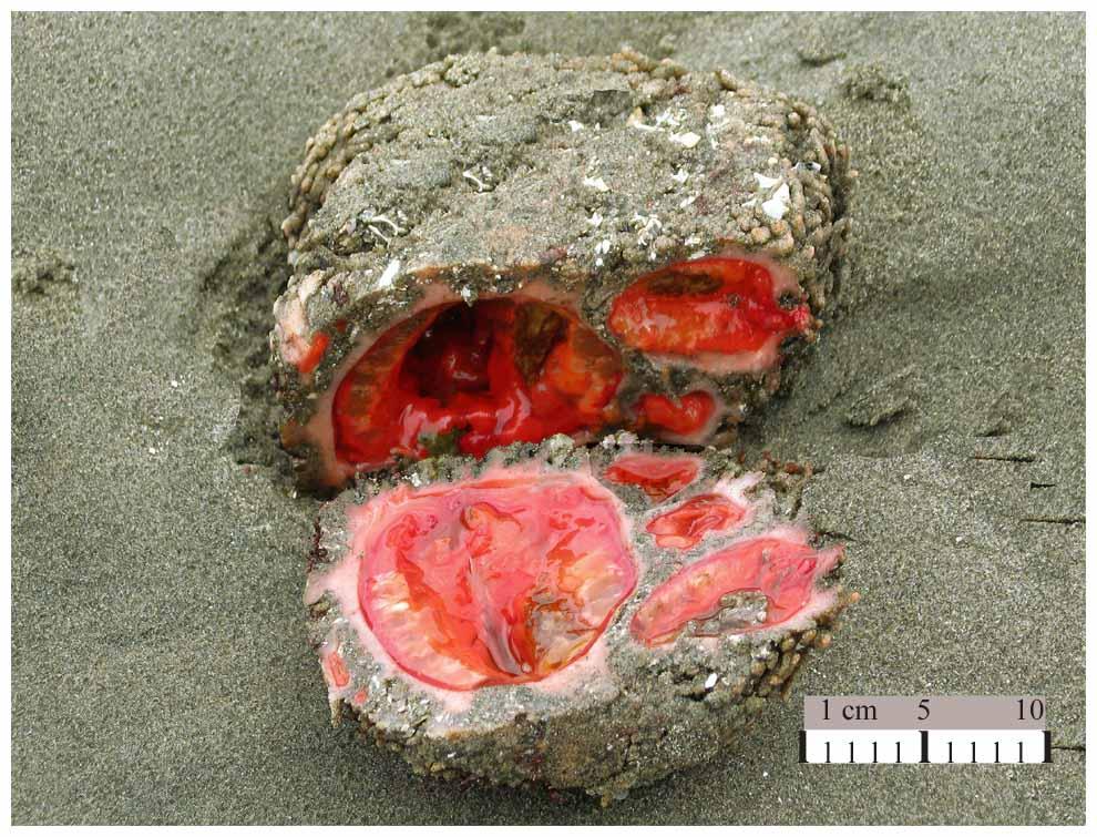 智利人最愛的美食竟然是這種「恐怖活石頭」,一切開看到「血淋淋限制級畫面」我已經忍不住衝去廁所吐了!