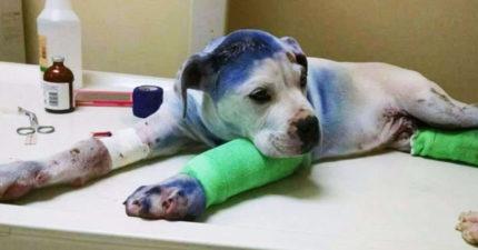這隻狗狗因為「被噴漆跟開槍」被送進獸醫院,沒想到另一隻受虐狗狗看到他狀況後竟然...