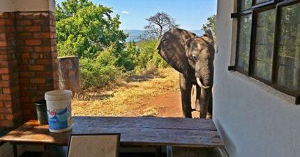 非洲住宿小屋管理人發現「大象默默逼近小屋」嚇壞遊客,衝出屋外後才發現會讓人類慚愧的真相!