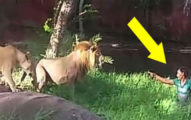 男子喝醉酒就翻牆想要跑去跟獅子握手...旁觀者看到全都快嚇到往生了!