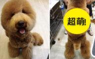 這隻狗狗正面剃到只剩襪子已經夠可愛,但當她「一轉過身」你就會立刻拿著照片衝去找寵物美容師!