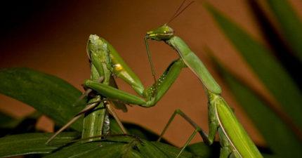 科學家終於發現為何螳螂交配時母螳螂要吃掉公螳螂,原來他的犧牲就是螳螂繁衍的關鍵。