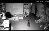 主人因為簽證還沒下來只能把貓女兒留在台灣,結果到日本一看到監視器裡「女兒的鼻酸舉動」就徹底淚崩了...