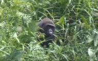 他們回去找12年前放生的2隻猩猩很擔心會出問題,但猩猩一見到他們的第一個舉動就證明人類絕對不是最高等靈長類!