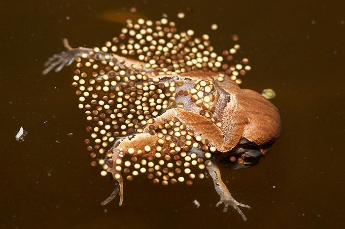 俄國科學家抓到這些「全透明的變種青蛙」,以後可能人類也要變成透明的了...