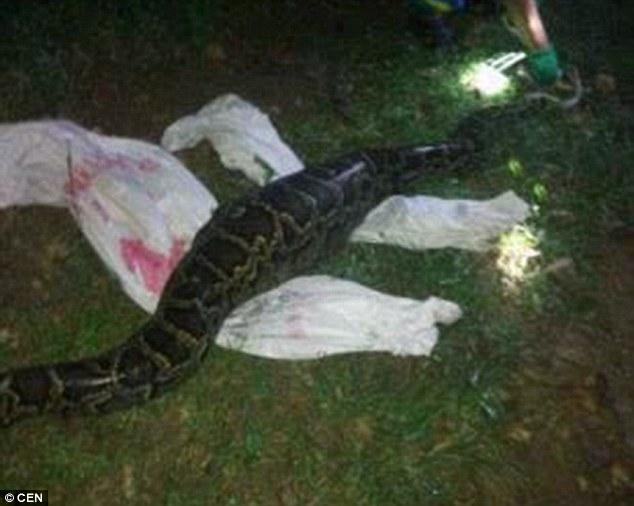 福州村民一早醒來發現這條「特別鼓」的蟒蛇,一發現不對勁時就立刻狂壓蟒蛇肚!