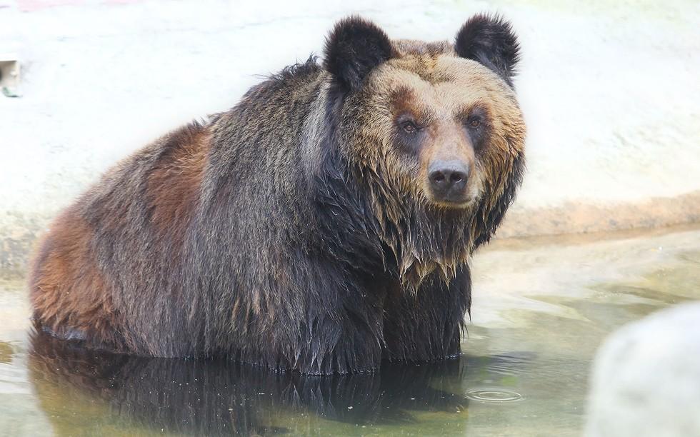 他們拯救到這頭熊的時候發現他身上有一個這樣的金屬裝置,當他們發現用途時都認為有些沒教育的人類已經沒救了!