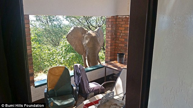 The bull elephant, named Ben, surprised guests when he approached the Bumi Hills Safari Lodge in Zimbabwe