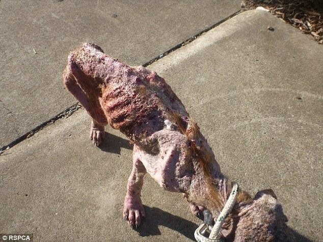 他們發現「被主人餓了一個月」全身化膿小狗,法官霸氣說:「我要讓他們坐牢!」