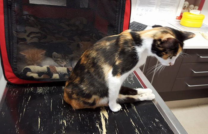 paralyzed-cat-mother-kittens-princess-4