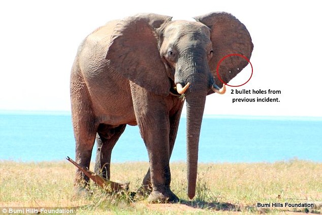 Scars: The bullet holes are still visible on the elephant's ears. Staff say it is now making a recovery nearby
