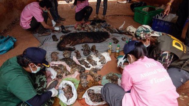 泰國寺廟說要好心收留老虎結果被發現冰櫃藏40具老虎屍體,沒想到園方卻表示:「這不是大家想的那樣」!