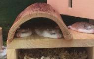 這些可愛的小倉鼠因為天氣太熱竟然「集體融化成一攤」,#4疊成一作麻糬塔真的太可愛了啦!