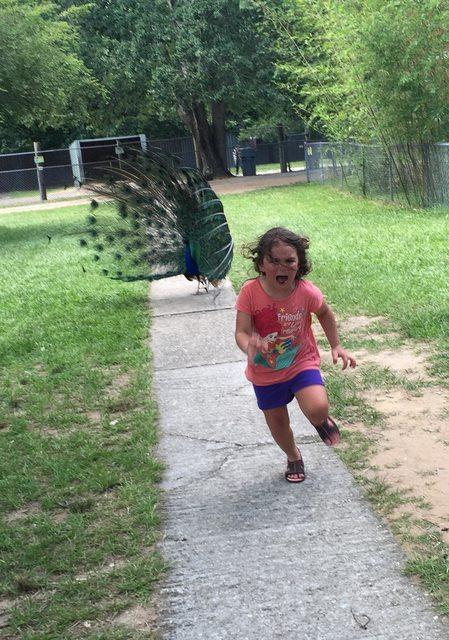 小女生被拍到被孔雀追殺,網友一看到機會就開始狠狠的發揮了...