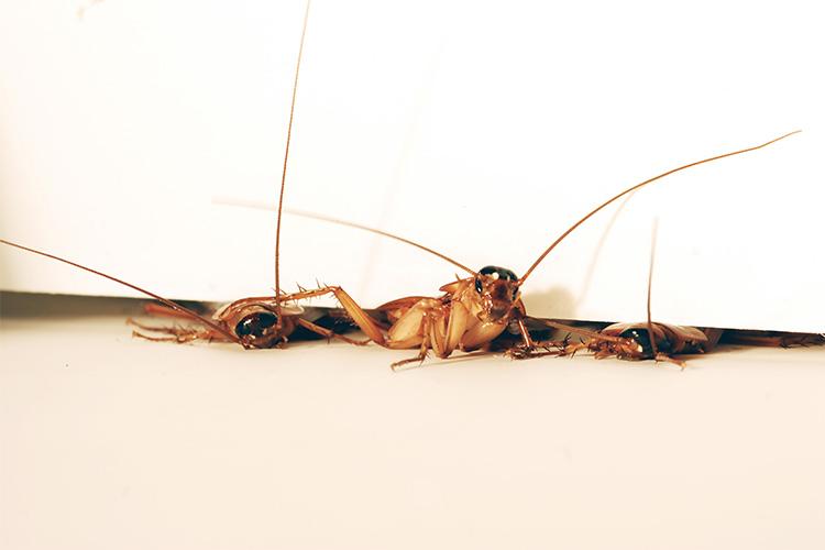 roaches750