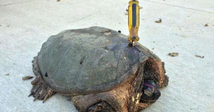 夫妻看見被插著螺絲起子的70歲老烏龜本來想救,走進一看才發現好險沒有這麼做!