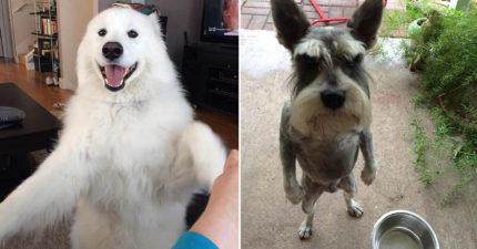 16隻「還以為自己已經進化成人類」的站立狗狗就是你一整天的快樂!