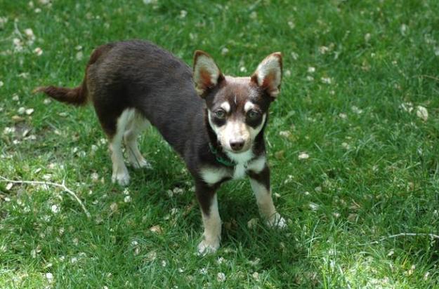 16隻可愛犯規到打破宇宙規則的「各種柯基混血狗狗」!哈士奇加柯基根本是神奇寶貝!