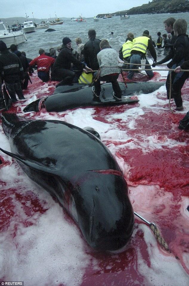 他們將200頭鯨魚誘騙上岸後「用鯨魚血把海水染紅」,參與民眾的表情讓人驚覺「人類才是真正的魔鬼」!