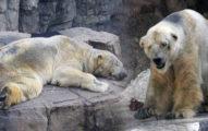 這隻「全世界最悲傷的北極熊」終於解脫不再孤單,但看到他生前「比監獄還悲慘的居住環境」讓我瞬間掉淚了...
