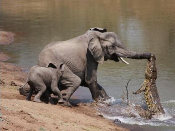 這對大象母子在河邊喝水卻被埋伏的鱷魚狠咬攻擊,本來以為象媽媽死定了但下一秒象寶寶...