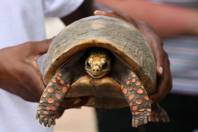 red-footed-tortoise1.jpeg.650x0_q70_crop-smart
