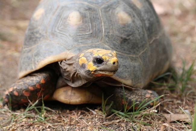 red-footed-tortoise2.jpeg.650x0_q70_crop-smart