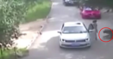 (有影片)女子因為跟家人起爭執在野生動物園下車時被一旁的老虎叼走攻擊,最後造成了悲劇的轟動事件...