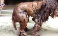 志工們救出流浪狗時已經看不出他的真實模樣,但把厚厚的毛髮剪開後你就會大喊「原來這麼可愛」!