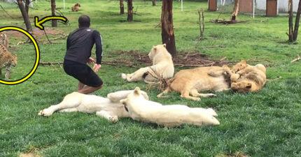 動物管理員跟「一群白獅子」玩耍 殊不知「後方老虎」已救他一命!