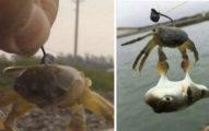 男子在釣魚的時候突發奇想的用螃蟹做魚餌,意外發明了「水中夾娃娃機」!第二張更扯!