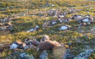 挪威高原「323隻馴鹿慘遭雷擊身亡」,一整個山丘上的「恐懼模樣」讓人永世難忘。
