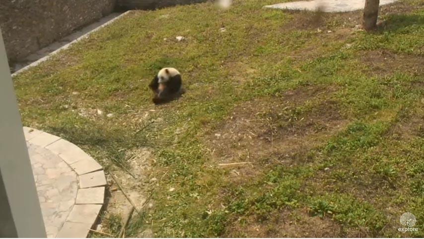 不管你今天一天過的有多悲慘,這個「小熊貓抓著腳變成球不停滾下山坡」超萌影片都會徹底拯救你!