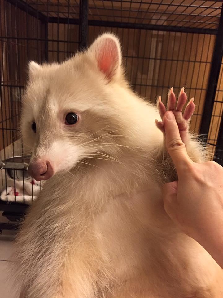 小浣熊「屋膩」去美容剪毛 像「被踢了一腳」紅到國外了!另一個造型也超萌!